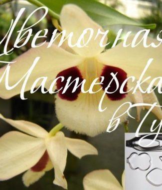 orhideya-dendrobium-pulchelum
